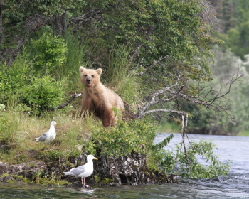 A juvenile grizzly bear stands on the shore after a long day of catching fish in Bristol Bay, Alaska.