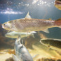 Salmon swimming in clear water in an aquarium seen from the side