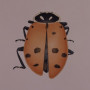 Lady Bird Beetle from Richland, Washington by Cornelia Hesse-Honegger, 1998. Watercolor on paper ...