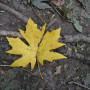 A bright yellow maple leaf lies in the dirt.