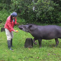 Ina Waring-Enriquez BA ?17 with a tapir (a mammal closely related to horses and rhinos) at the Ya...