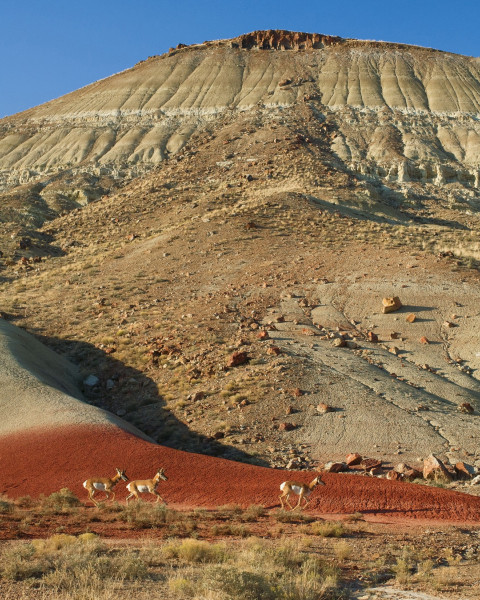 Pronghorn antelope, second only to the cheetah in speed, sprint across the Painted Hills of centr...