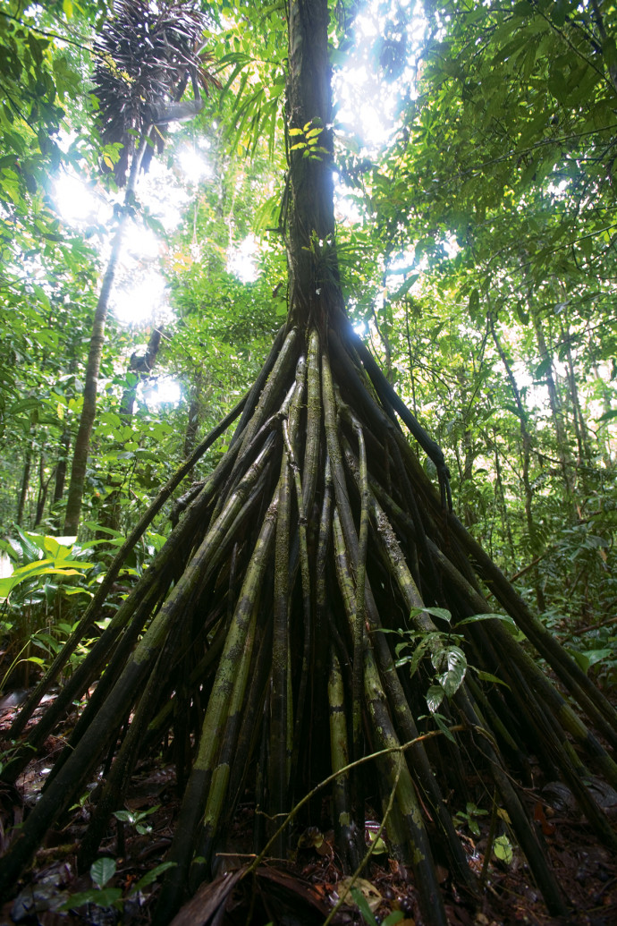 The stilt roots of the pambil tree (Iriartea deltoidea) in Yasuní National Park, Ecuador. (Andrew...