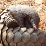 Pangolins are the world's most trafficked mammal.